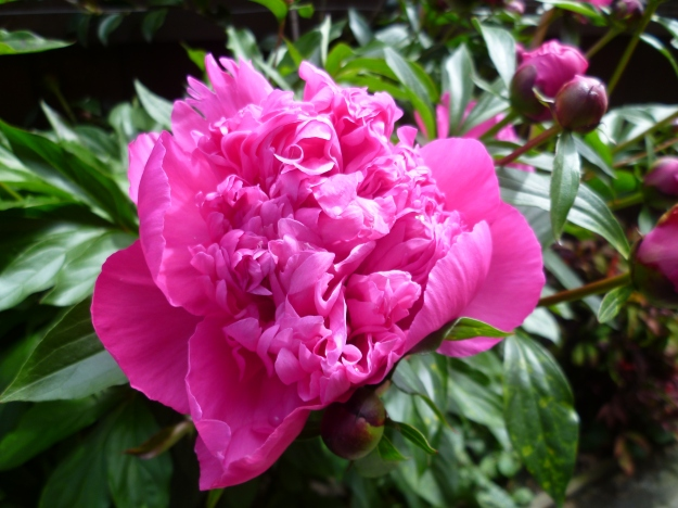 Paeony at the Back Door
