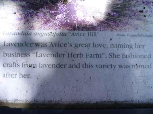 Lavender for Avice