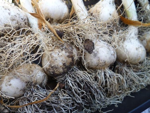 Mighty Garlic