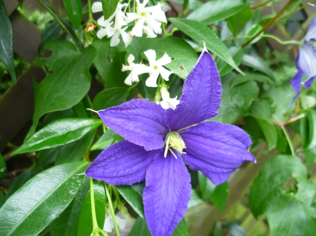 Clematis and Star Jasmine