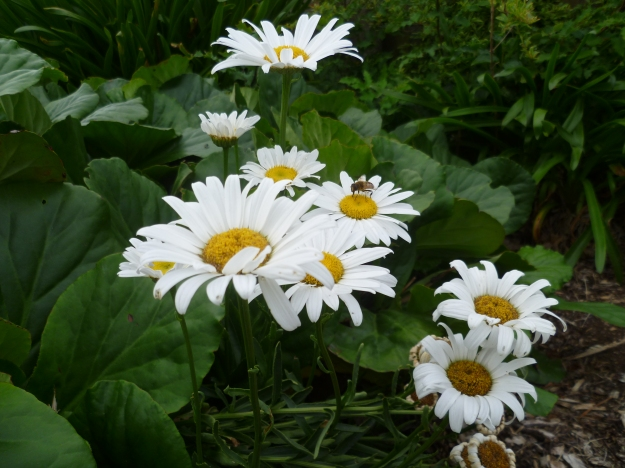 Cool Daisies