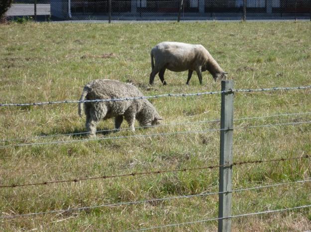 Sheep styling