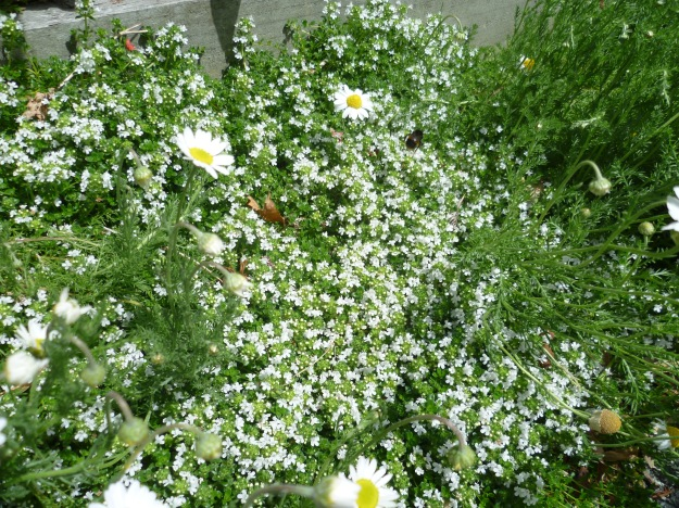 Thyme and Chamomile Forest