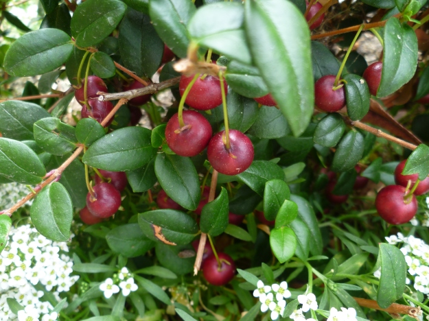 Chilean Guavas