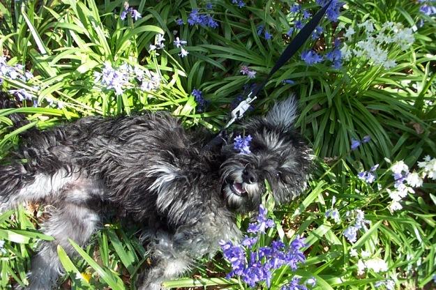 Puppy in Bluebells