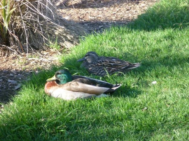 Contemplating duckling antics