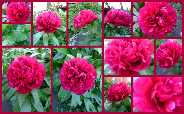 Making the most of one sweet peony