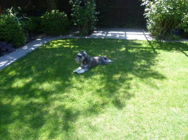 Schnauzer on lawn