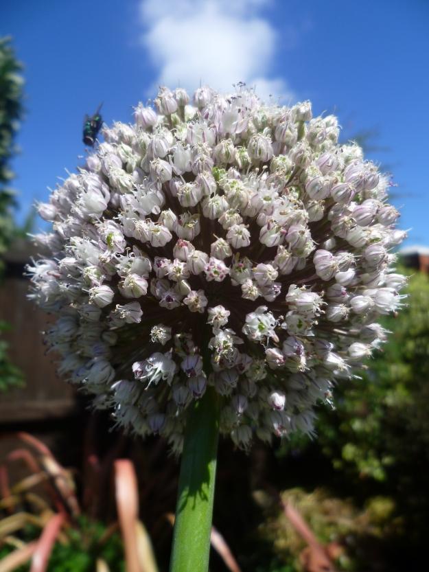 Flowering leek