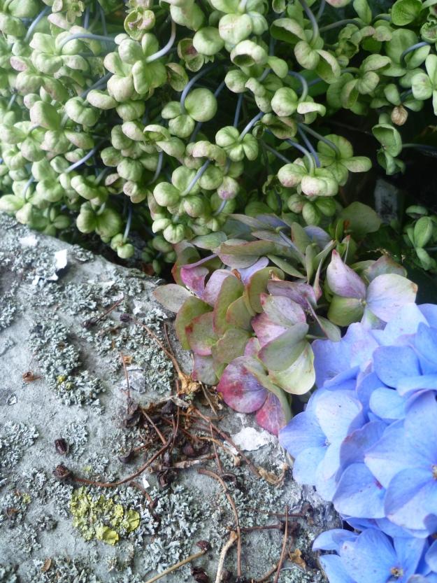 Entwined hydrangeas