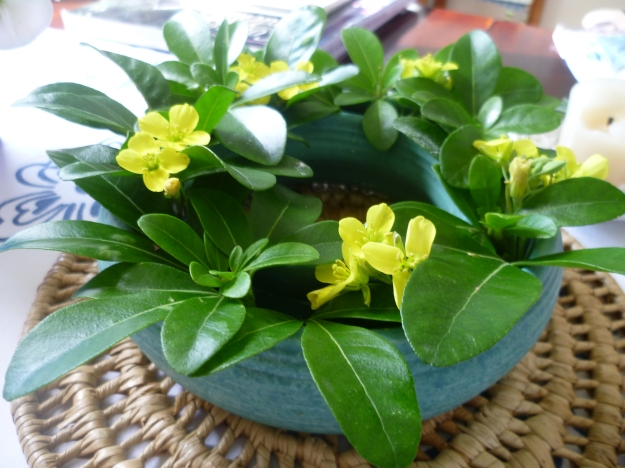 Yellow Rocket and Mexican Orange Blossom Leaves