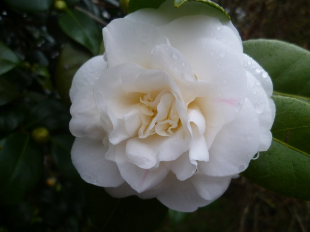 Like a wedding dress; a camellia at Mona Vale, another of my mother's happy places.