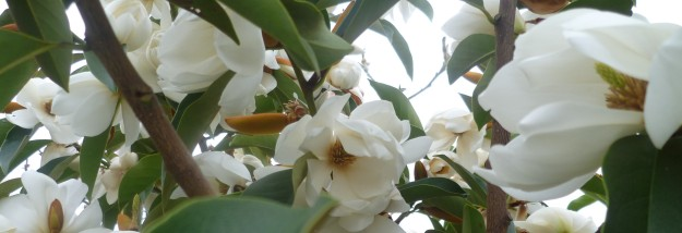 Michelia in my garden