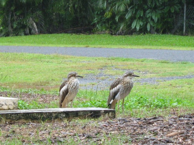 Curlews outside my sister's home in Cairns
