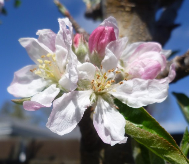 Another angle on the apple blossom