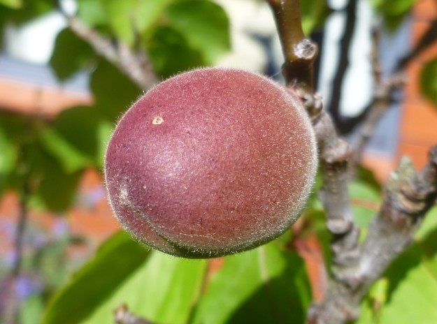 Apricot ripening in the warmth of its small world.