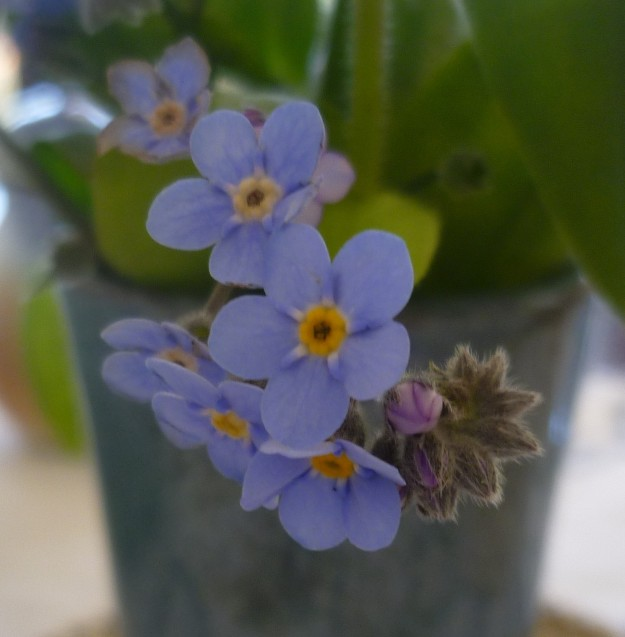 Mouse ears  Myosotis  Forget-me-not to listen to our every word.