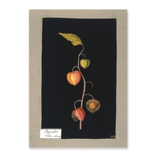 Physalis, Winter Cherry, a paper collage by Mary Delany. Copyright British Museum.http://www.britishmuseum.org/explore/highlights/highlight_objects/pd/m/mary_delany,_winter_cherry.aspx