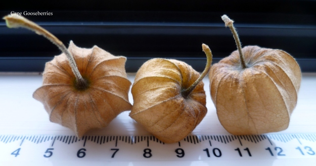Cape Gooseberryhttp://www.edible.co.nz/fruits.php?fruitid=50 has travelled from the wilds of the Andes to colonize the world. South America to the world.