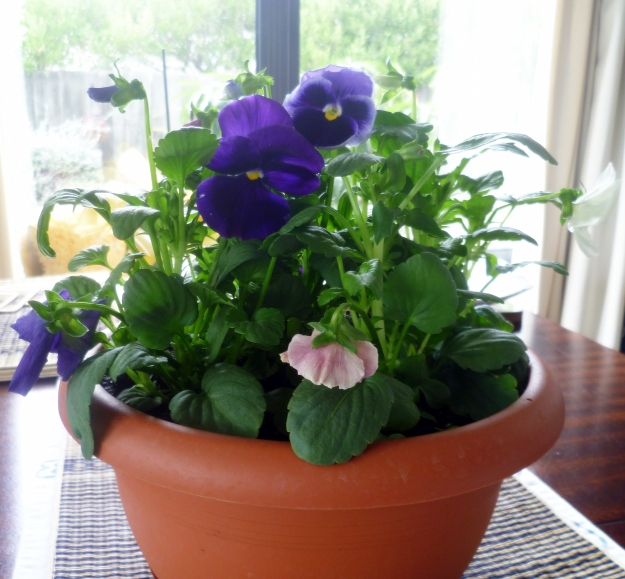 Palm Sunday thoughts in the company of birthday pansies.