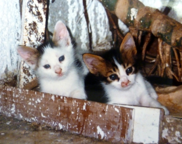 Baladi kittens with a touch of Egyptian Mau http://www.emaurescue.org/index.php