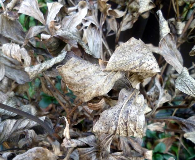 Bedraggled as a winter- worn peony